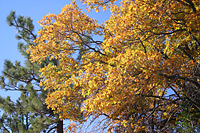 Fall colors, California black oak
