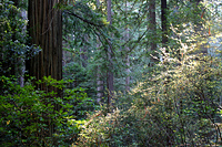 Humboldt Redwood Forest