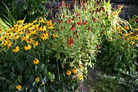 Wildflower garden in Commercial Drive area