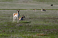 Pronghorn (Antilocapra americana) on San Andreas Fault, Cholame Valley, California