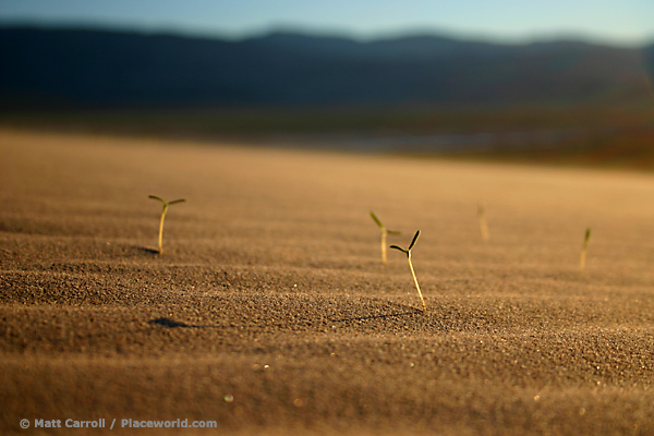 oblique view of sprouting plants on desert dunes